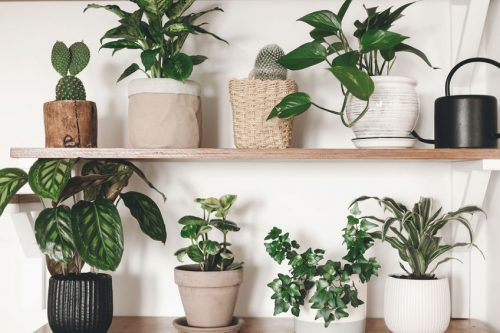 calathea-plant-how-to-grow-and-care