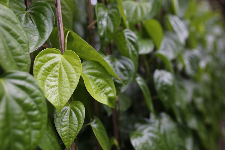 indian betel leaves or sirih keling