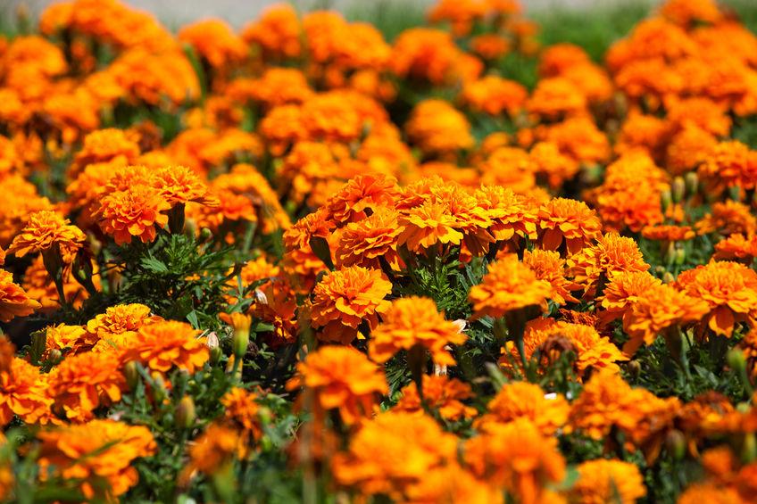 pokok marigold halau serangga dalam rumah