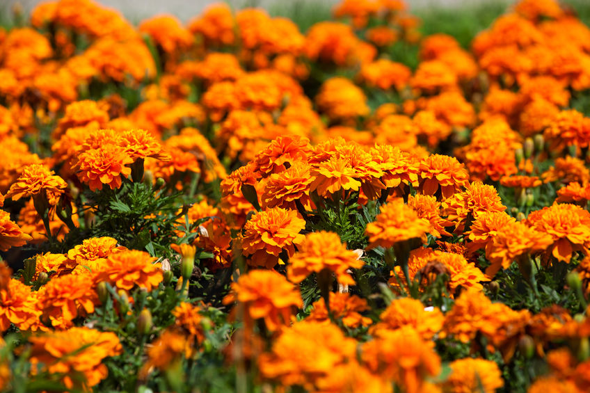use marigold to get rid of insects
