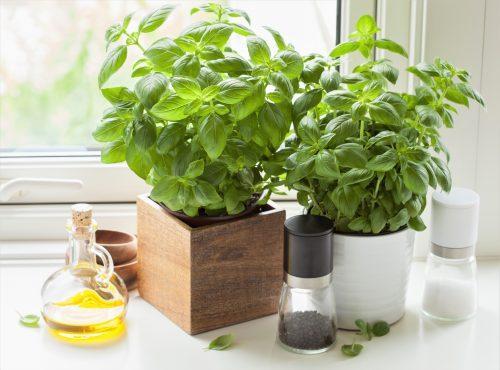 plant-grow-harvest-basil