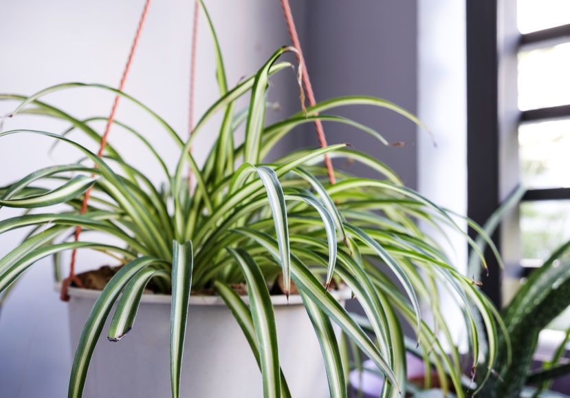 spider-plant-how-to-grow-and-care