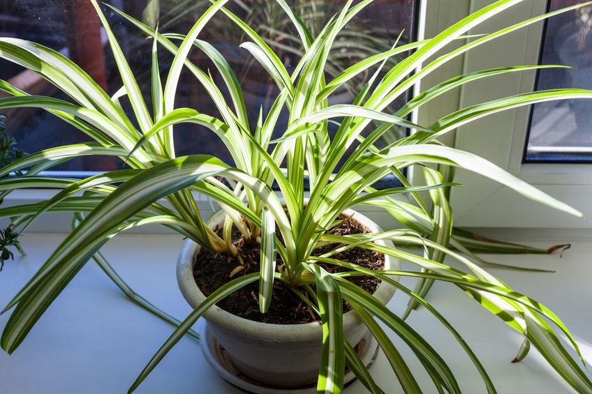 how-much-sunlight-does-spider-plant-need