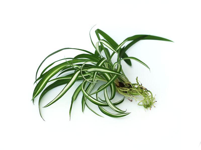 spider-plant-babies