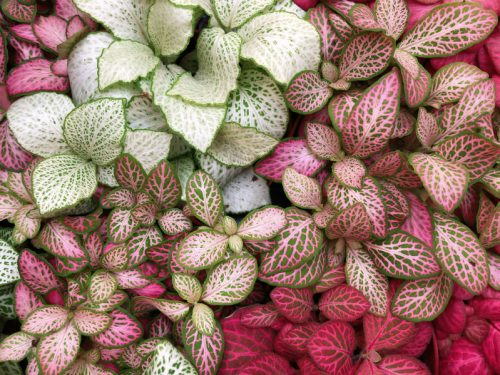 网纹草(神经植物)