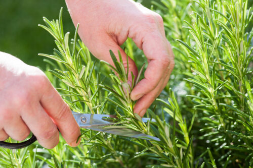 When can you start harvesting rosemary