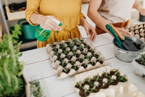 Cara menamam rosemary dari biji benih